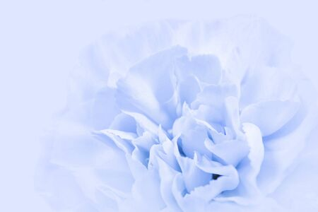 Blue large peony bud or cloves flowers on a blue background as a blank for advertising text