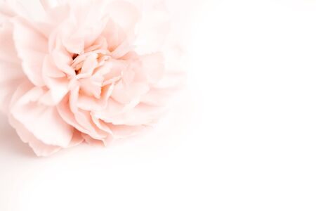 beige and pink large peony bud or cloves flowers on a white background as a blank for advertising text