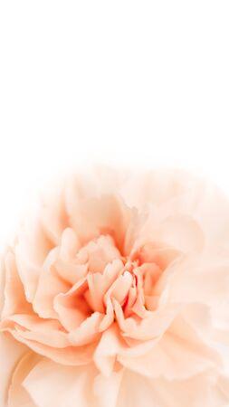 grande bocciolo o chiodo di garofano di peonia su sfondo bianco come spazio vuoto per testo pubblicitario Archivio Fotografico
