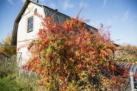 Red, purple barberry bush, with fruits in autumn. common plan