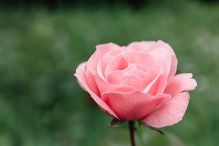 One blossoming pink rose on a background of green grass and leaves. A delicate flower can be used as an independent picture or as an example of a certain plant variety. Holiday card for Mother's Day or March 8th. Close-up.