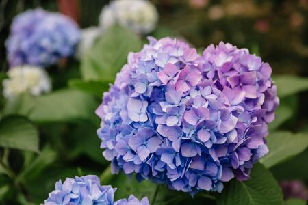 Violet and blue hydrangea macrophylla flower in a garden. A lush bush adorns the garden with its beautiful flowers bud. Close-up.