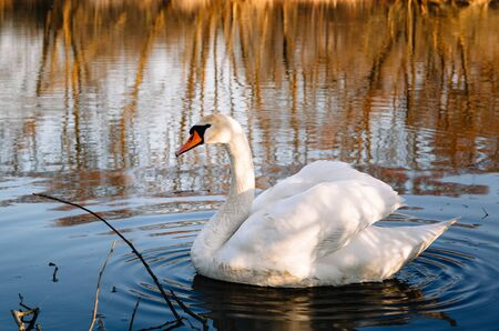 A magnificent white adult swan with a red beak and white plumage swims in clear river water in a natural habitat. Wallpaper. 스톡 콘텐츠