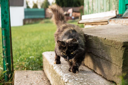Fluffy cat is waiting for the owner to let the house in and feed Фото со стока