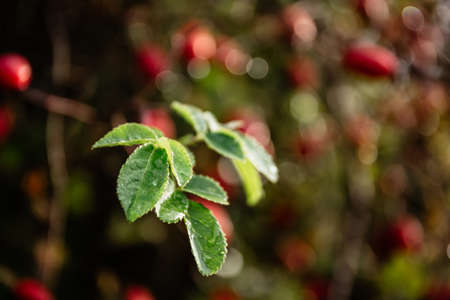 Rosehip branch with leaves close-up, lit by autumn sunlight with bluring background.