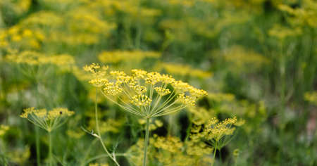 Fennel blossoms. Fennel flowers. Fennel seeds. Seasoning for food. Fennel in a garden. Summertime. Фото со стока