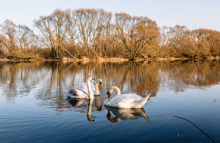 A family of beautiful white swans swims towards the camera. Noble birds of Europe. Harmony of nature and the environment. Wallpaper.