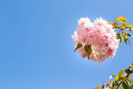 Branch of blooming Japanese sakura close-up against the sky with a place for text. Delicate pink petals with a refined fresh aroma. Hello spring. Banner or postcard for mother or woman day. Close-up. Stockfoto