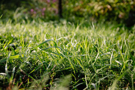 Banner with close-up green grass and dew drops after rain. Beautiful dense lawn. Natural background with texture pattern. Spring and summer season. Garden and gardening. Nature landscape. Wallpaper.