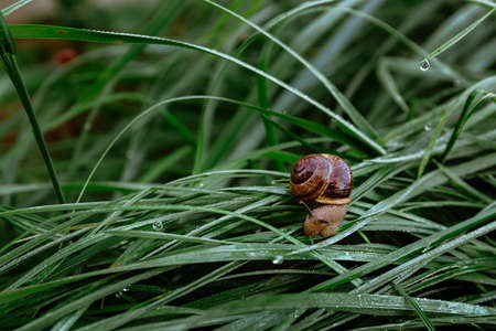 A small brown snail is crawling on wet grass with dew drops. Morning freshness. Wild nature. Farmer breeding of edible snails. Close-up. Stockfoto