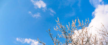 Scenery. Blue sky with clouds and branches of blossoming cherry tree. White flowers. Sunny good weather. Spring season. Banner. Nature revival. Springtime landscape. Gardening online course. Mockup. Stockfoto