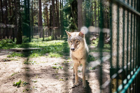 One gray wolf behind fence - captive animal. Summertime vizit to the zoo. Wildlife.