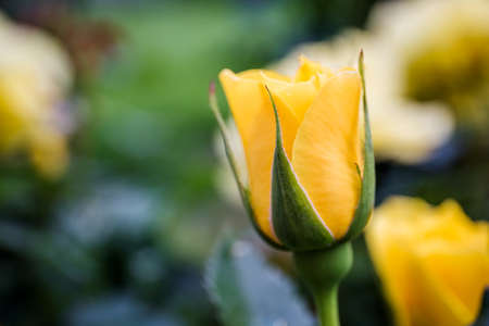 Beautiful yellow rose bud in the garden, close-up Stockfoto