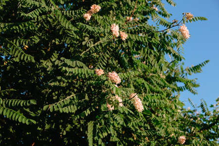 Acacia tree flowers blooming. Green branch on the blue sky background. Gardening plant. Summertime season. Light pink color. Copy space. Beautiful nature wallpaper. Allergy spring aroma. Close-up.