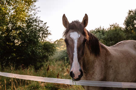 A portrait of a bay horse looks full-face against a landscape background. A well-groomed thoroughbred animal rests and eats in its natural habitat on a fenced area farm pasture in the early morning.
