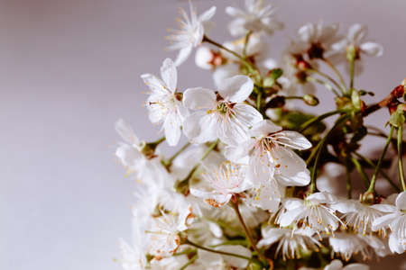 Sprig of blooming cherry tree on white background. Banner or holiday certificate, copy space text place. Gardening billboard. Romantic and fine aroma. Tree sort. Spring time. Selection science. Macro.