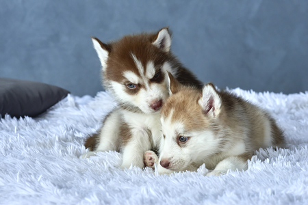 Two blue-eyed copper and light red husky puppies lying on white blanket Stock Photo