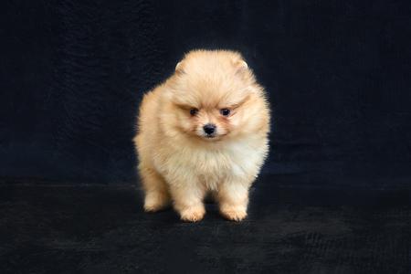 Orange pomeranian spitz puppy staying on a black background
