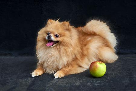 Adult Orange Pomeranian Spitz is lying on black background