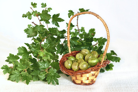 Gooseberries in wicker basket and twig with green leaves