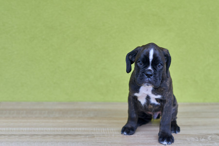 Small black with white spots on nose bridge and neck Boxer puppy on green background