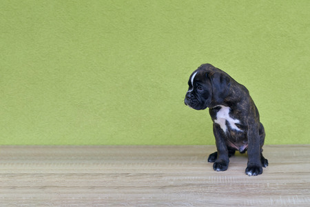 Small black with white spots on nose bridge and neck Boxer puppy looks on the left side on green background Standard-Bild