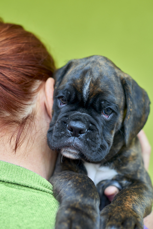 Brindle with white spots Boxer puppy on redhead woman shoulder on green background