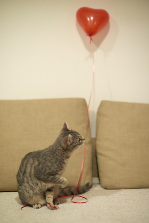 Gray tabby kitty playing with a red string with a heart shaped baloon on a sandy yellow with a brown sofa Standard-Bild
