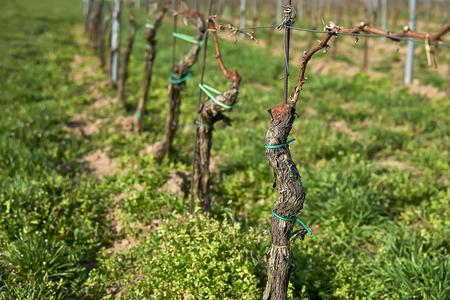 Rows of Vineyard Grape Vines. Spring landscape with vineya