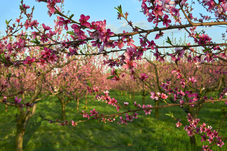 Blooming pink peach blossoms on tree stick with peach trees gardern on background in the begining of spring