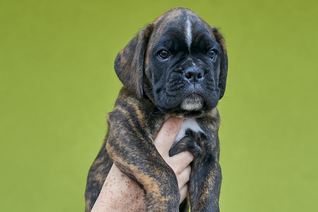Brindle with white spots Boxer puppy on human hand on green background