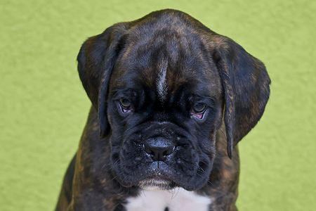 Small serious black with a white spot on a nose bridge Boxer puppy on a green background