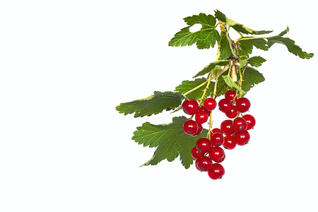 Bunch of juicy red currant on a twig with green leaves