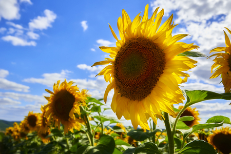 Young sunflowers bloom in the field against a blue sky Standard-Bild - 114618512
