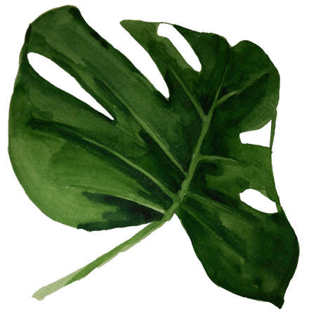Monstera tropical green  leaf watercolor illustration isolated on white Stock fotó