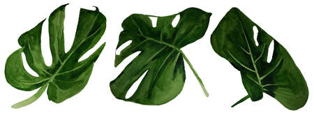 Monstera tropical green  leaf set watercolor illustration isolated on white