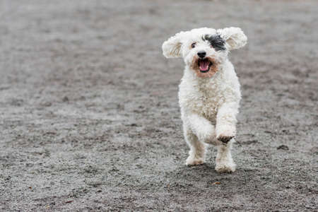 Cute white dog with black eye patch running happily Stock Photo