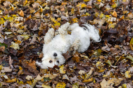 Cute small white dog rolling in mud and fall leaves Stock Photo - 115112987