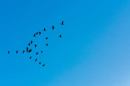 Flock of canada geese flying to the left in the sky