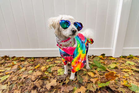 Dog dressed up like a hippie. Wearing tye dye shirt, necklace and sunglasses.