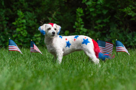 Small colorful dog standing outside with american flags