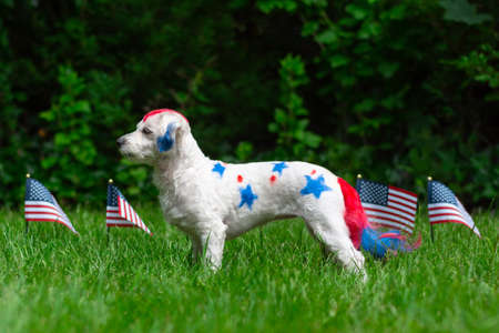 Small dog standing outside with american flags in grass Banco de Imagens