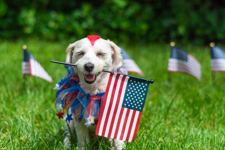 Small dog with red mohawk holding the american flag in mouth outside