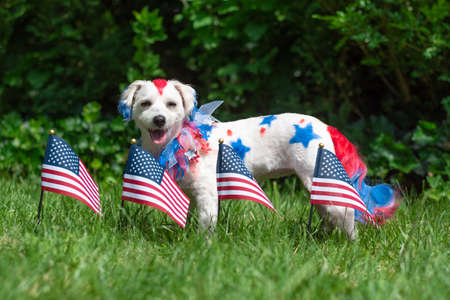 Small dog standing outside in the sun with american flags