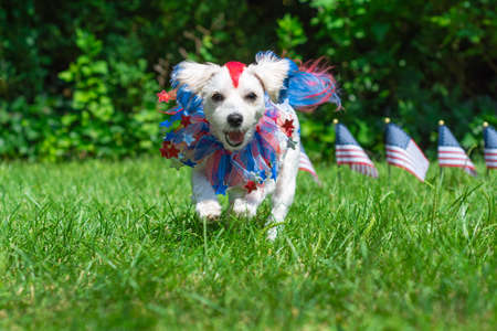Happy small colorful dog running in sun with american flags in background