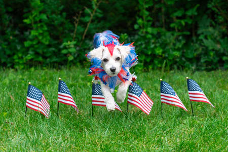 Small colorful dog jumping over american flags in grass