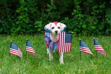 Small colorful dog holding american flag in mouth with other usa flags in grass Banco de Imagens