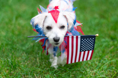 Small colorful dog holding the american flag while walking and looking at camera
