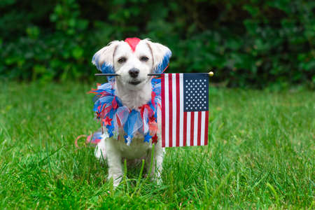 Small colorful dog sitting and holding the american flag outside