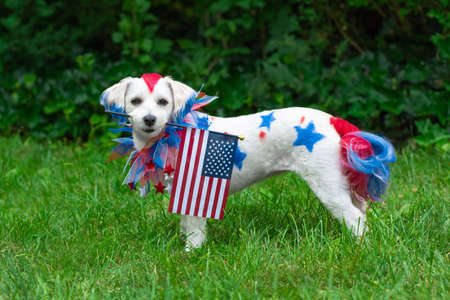 Small dog standing while holding the american flag outside Banco de Imagens